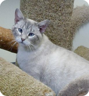 Siamese Cat for Sale in Scottsburg, Indiana - Klein