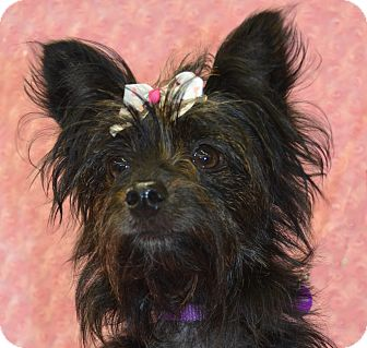 Cairn Terrier/Yorkie, Yorkshire Terrier Mix Dog for Sale in Bridgeton, Missouri - Halle
