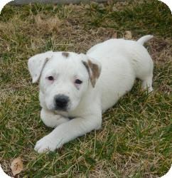 Dalmatian/Australian Cattle Dog Mix Puppy for Sale in Las Vegas, Nevada - Candy's Cannon