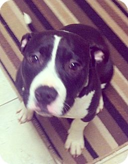 Terrier (Unknown Type, Medium)/American Staffordshire Terrier Mix Puppy for Sale in Troy, Michigan - Lola