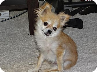 Pomeranian Mix Dog for Sale in Boise, Idaho - Minni