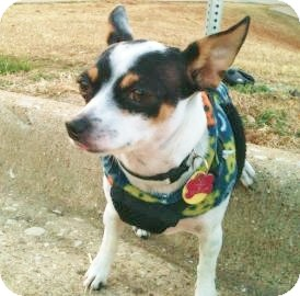 Chihuahua Dog for adption in Garland, Texas - Rosie