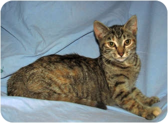 Domestic Shorthair Kitten for adoption in Oxford, New York - Pebbles