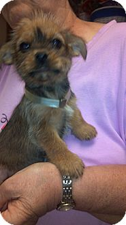 Yorkie, Yorkshire Terrier/Brussels Griffon Mix Puppy for Sale in Hazard, Kentucky - Punkin