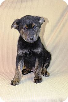 German Shepherd Dog Mix Puppy for Sale in Westminster, Colorado - Player