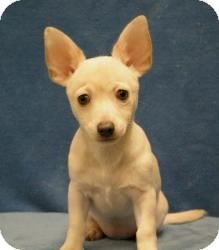 Chihuahua/Dachshund Mix Dog for Sale in Sacramento, California - Blanca
