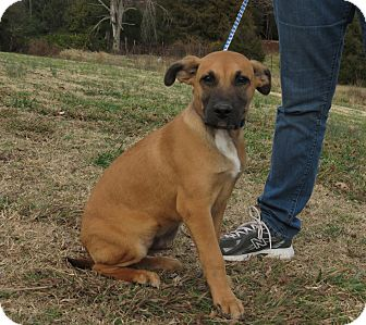 Belgian Malinois Mix Puppy for Sale in Glastonbury, Connecticut - Sheldon~meet me~