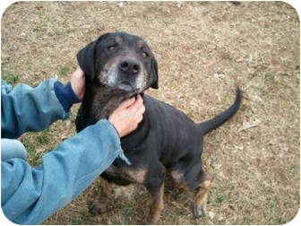 Labrador Retriever/Rottweiler Mix Dog for adption in Lowell, Indiana - Brody