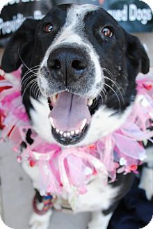 Border Collie Dog for adption in Scottsdale, Arizona - Sadie
