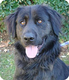 Flat-Coated Retriever Mix Dog for Sale in Red Bluff, California - Chester
