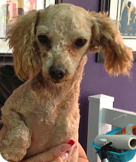 Poodle (Miniature) Mix Dog for Sale in Thousand Oaks, California - Fiona