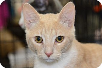 Domestic Shorthair Kitten for adoption in Harrisburg, North Carolina - Pumpkin