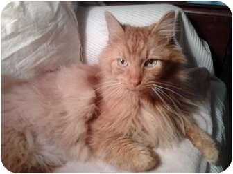 Maine Coon Cat for Sale in Columbus, Ohio - Dusty