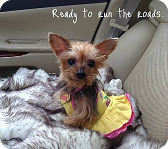Yorkie, Yorkshire Terrier Dog for adption in Baton Rouge, Louisiana - Lola
