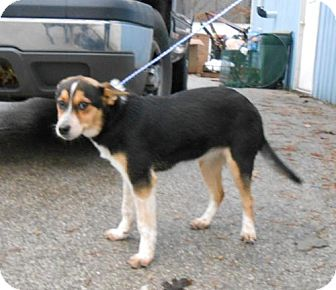 Corgi Mix Dog for Sale in Danbury, Connecticut - Breeze