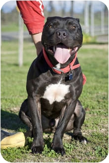 American Pit Bull Terrier Dog for adption in Fresno, California - Zeus