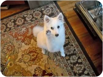 American Eskimo Dog Dog for adption in Ft. Collins, Colorado - Violet
