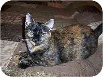 Domestic Shorthair Cat for adoption in Houston, Texas - Capri