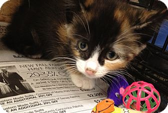 Domestic Shorthair Kitten for Sale in Oceanside, New York - Cyndi