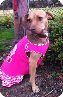 Beagle/Miniature Pinscher Mix Dog for Sale in Irvine, California - DOLCE, see her video!