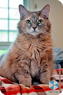 Domestic Longhair Cat for Sale in Columbia, Maryland - Emma