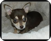 Chihuahua Mix Puppy for Sale in Hagerstown, Maryland - Peanut