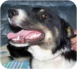 Border Collie Puppy for Sale in YERINGTON, Nevada - BULLET