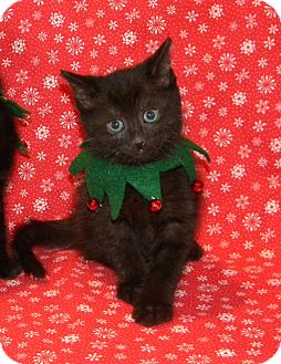 Domestic Shorthair Kitten for Sale in Stafford, Virginia - Kringle