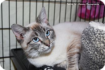 Siamese Cat for Sale in Lincoln, Nebraska - Mika