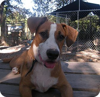 Boxer Mix Dog for adption in Driftwood, Texas - Stallone