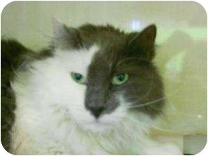 Domestic Longhair Cat for adoption in Fort Collins, Colorado - Tom Tom (Phantom)