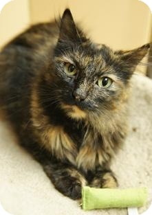 Calico Cat for Sale in Medford, Massachusetts - Tess