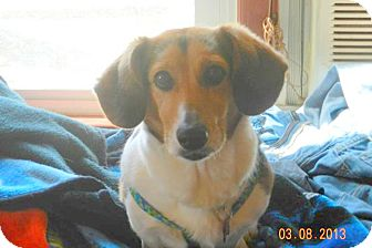 Corgi/Beagle Mix Dog for Sale in Bedford, Virginia - Piper