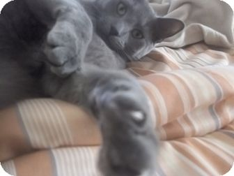 Russian Blue Cat for adoption in douglaston, New York - ash looking 4  2
