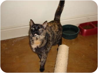 American Shorthair Cat for adoption in Lake Charles, Louisiana - Louise