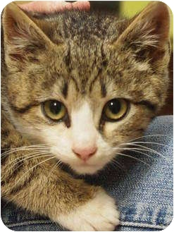 Domestic Shorthair Kitten for adoption in Ocean City, New Jersey - Buoy
