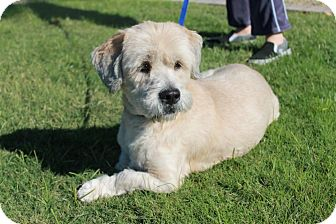 Lhasa Apso/Basset Hound Mix Dog for Sale in Phoenix, Arizona - Duke