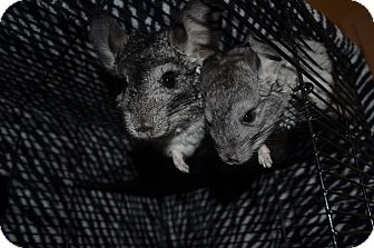Chinchilla for Sale in Selden, New York - Nova