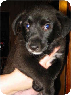 Border Collie/Terrier (Unknown Type, Medium) Mix Puppy for Sale in Ballwin, Missouri - Max