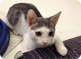 Domestic Shorthair Cat for Sale in Oceanside, New York - Deano
