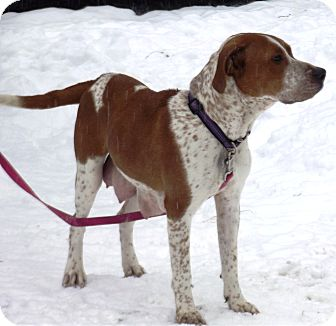 Redtick Coonhound/Boxer Mix Dog for adption in Morgantown, West Virginia - Sadie