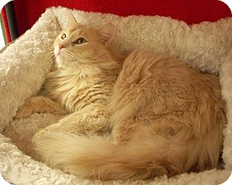 Domestic Longhair Cat for Sale in Fountain Hills, Arizona - COOPER
