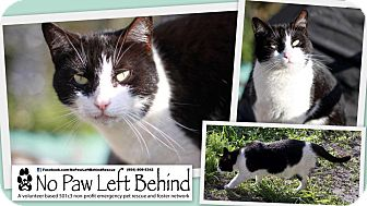 Domestic Shorthair Cat for adoption in Lighthouse Point, Florida - Lil Debbie