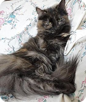 Domestic Mediumhair Cat for adoption in Stuart, Virginia - Carmelo