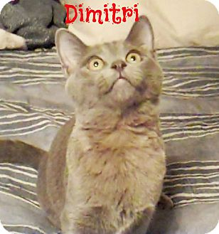 Russian Blue Kitten for Sale in Simi Valley, California - Dimitri