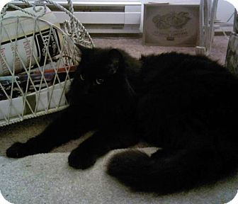 Domestic Mediumhair Cat for adoption in Spanaway, Washington - NALA