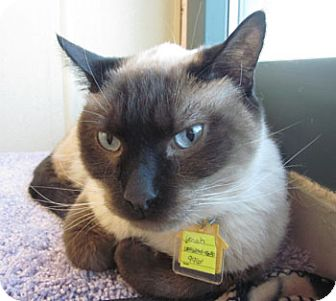Siamese Cat for adoption in Lakewood, Colorado - Crash