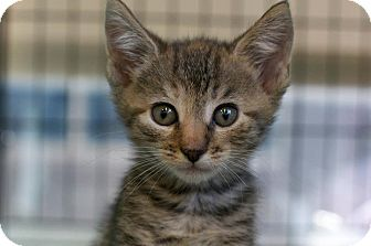 Domestic Shorthair Kitten for Sale in New York, New York - Sonia and Sandy