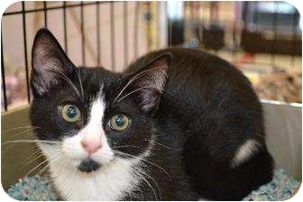 Domestic Shorthair Cat for adoption in Chino, California - Kitten 1