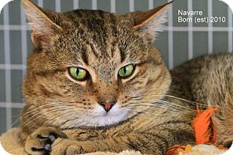 Domestic Shorthair Cat for Sale in Gaithersburg, Maryland - Navarre